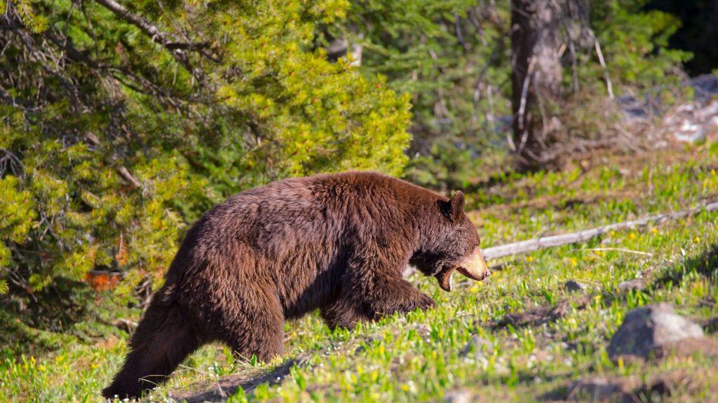 brown black bear