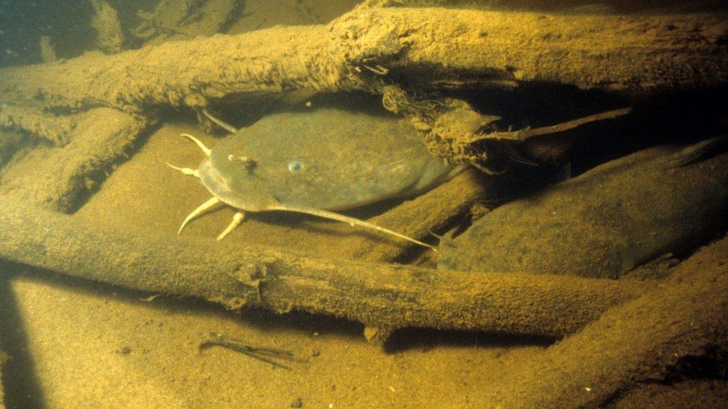 Flathead catfish waiting
