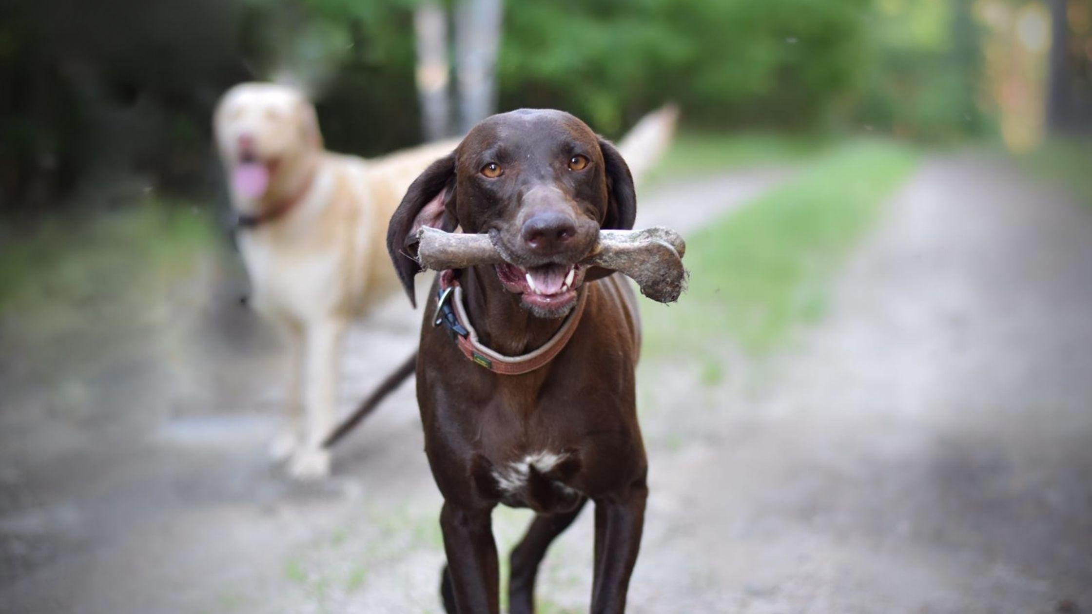 Can dogs have deer bones