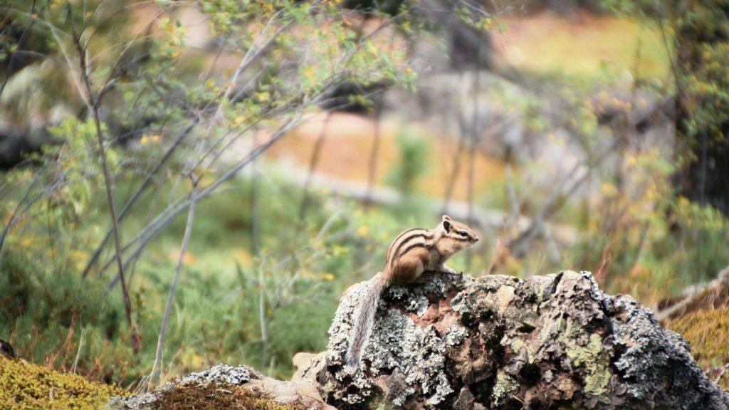 Chipmunk hunting