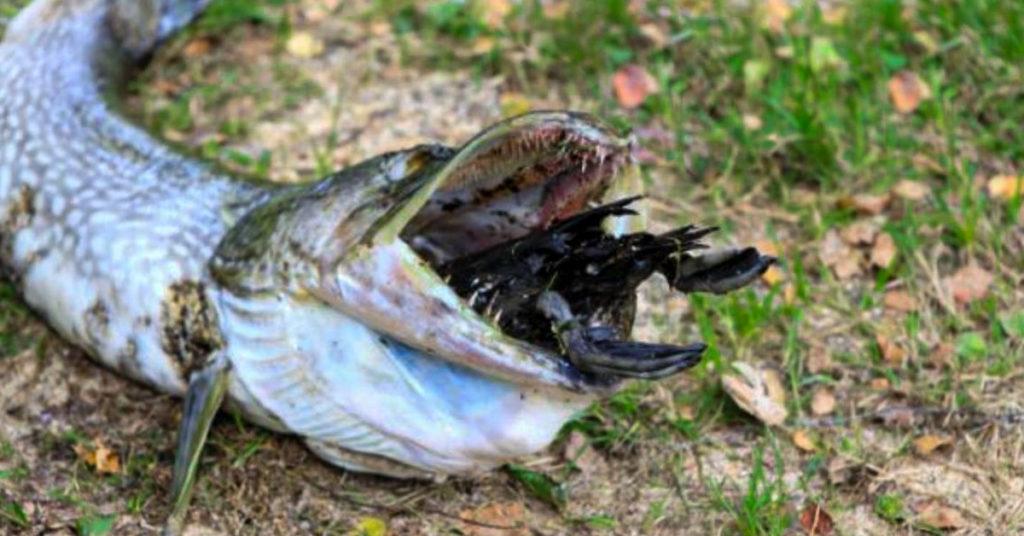 Do fish eat birds