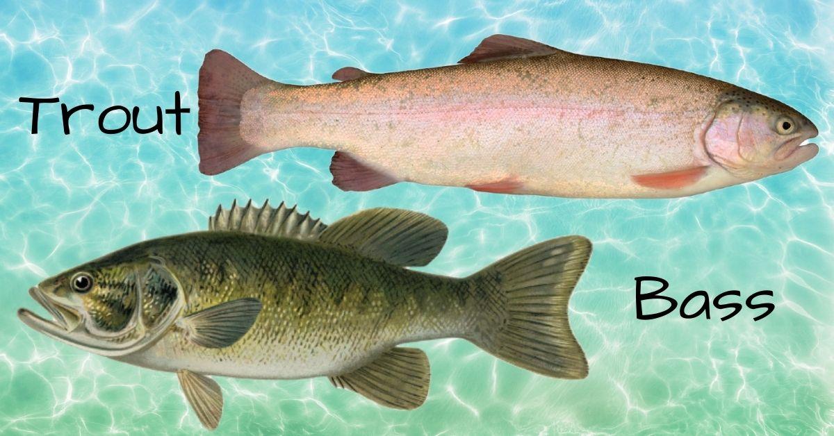 Trout vs Bass