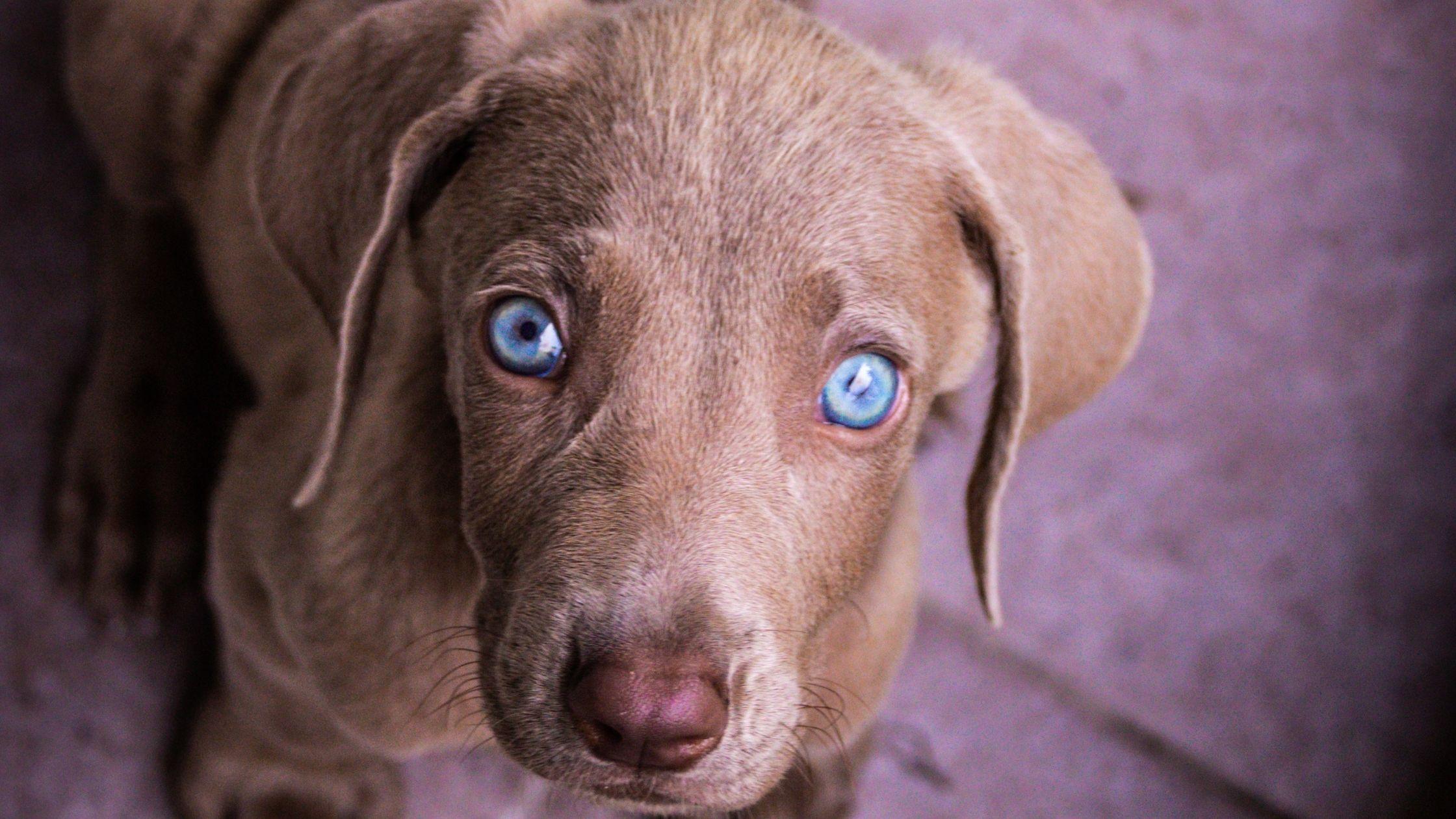 Blue eyed Weimaraner