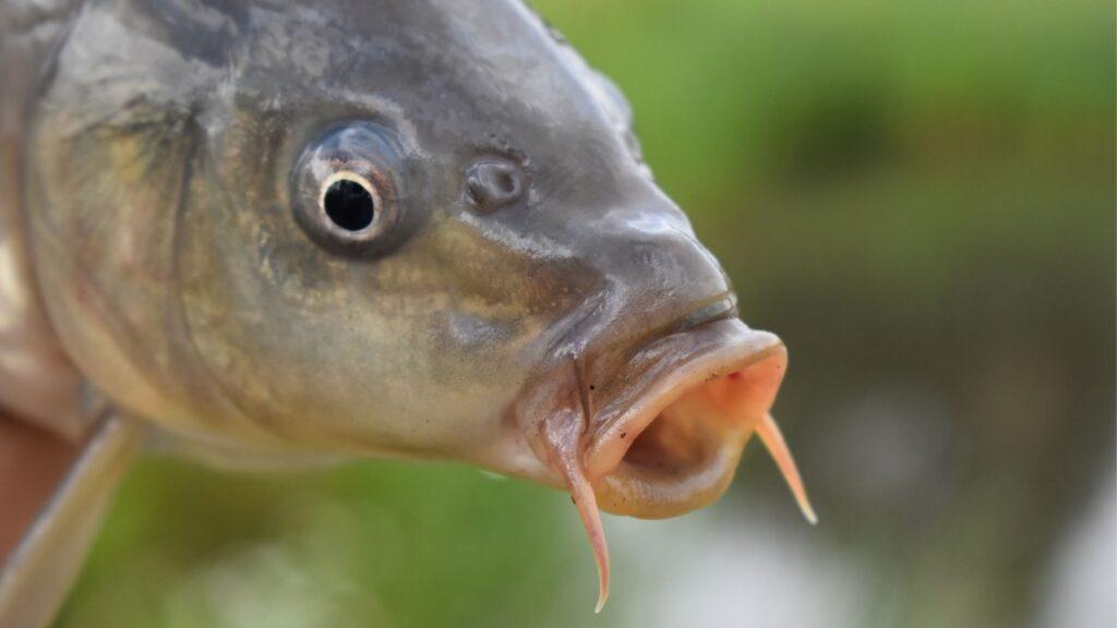 Do Carp Have Teeth?