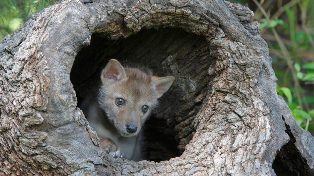 Where Do Coyotes Sleep?