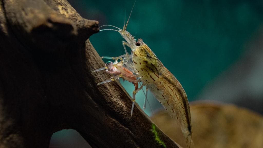what do shrimp eat