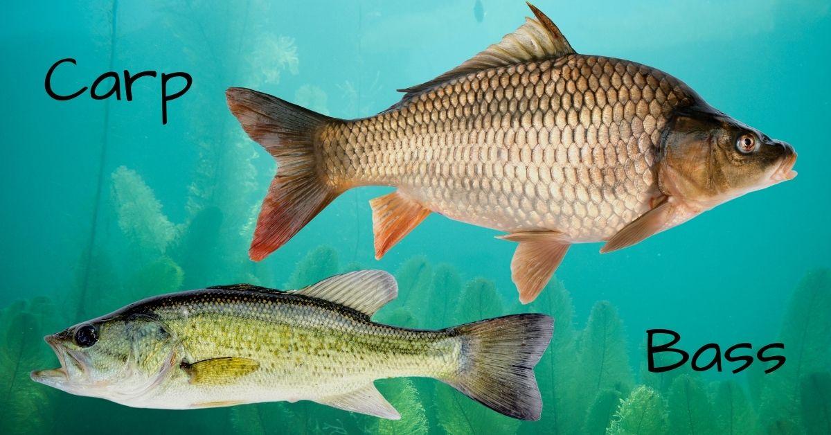Carp vs Bass