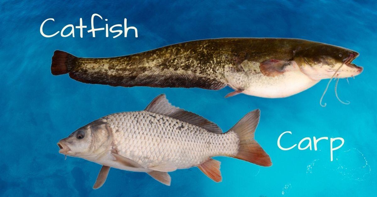 Carp vs Catfish
