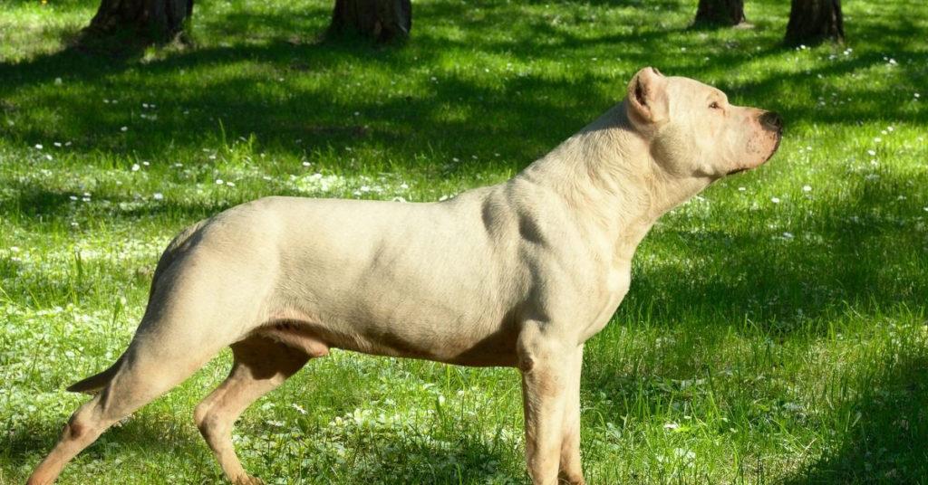 Best Hog Hunting dogs
