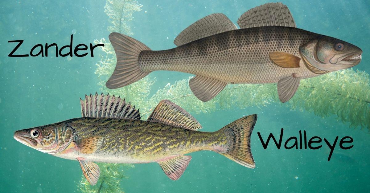Zander vs Walleye