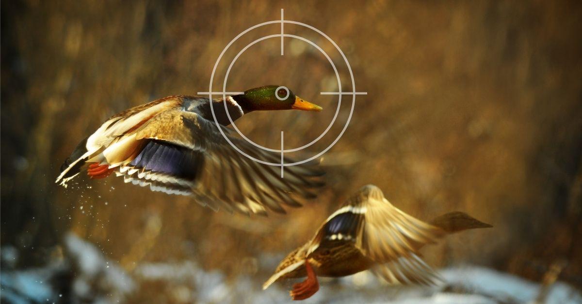 Where to Aim Shooting Ducks