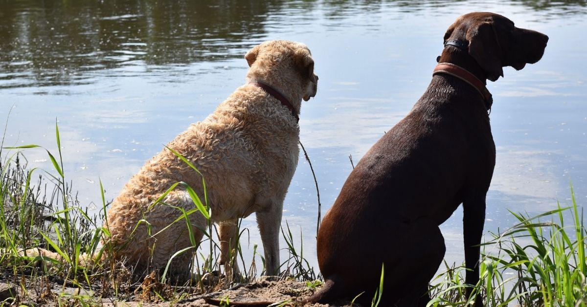 Brown Hunting Dog Breeds