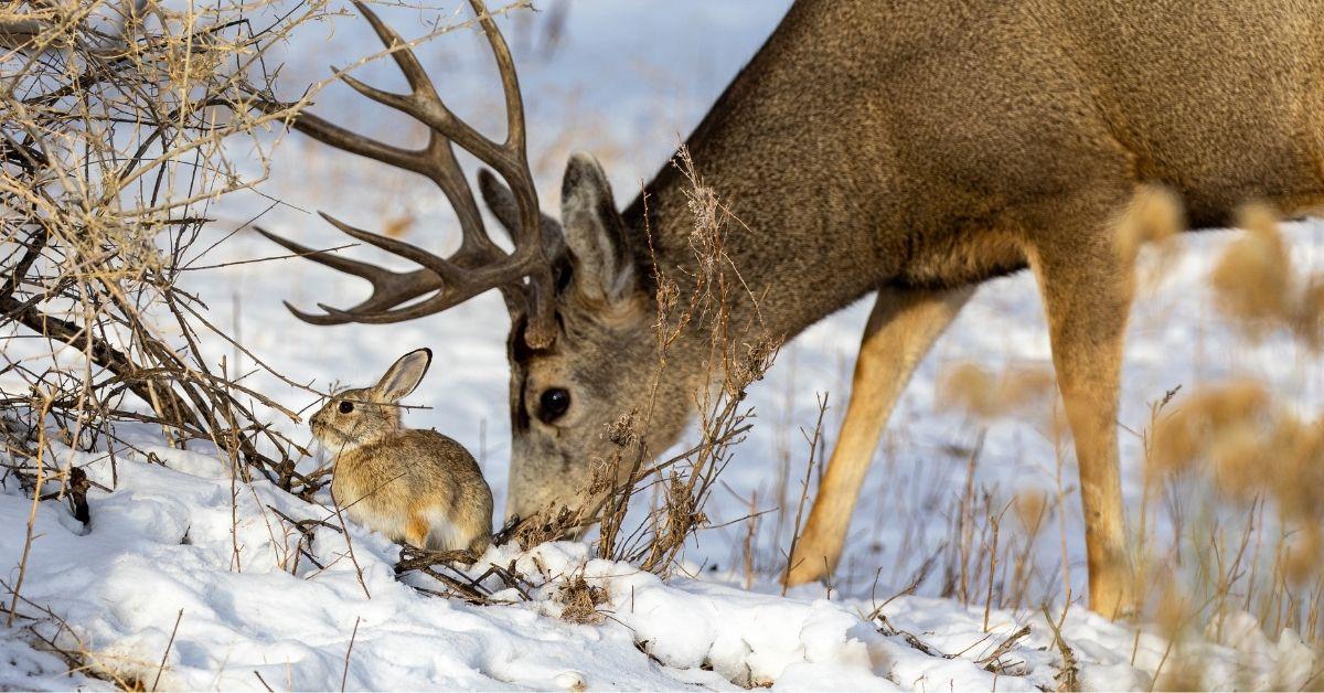 Do Deer Eat Rabbits