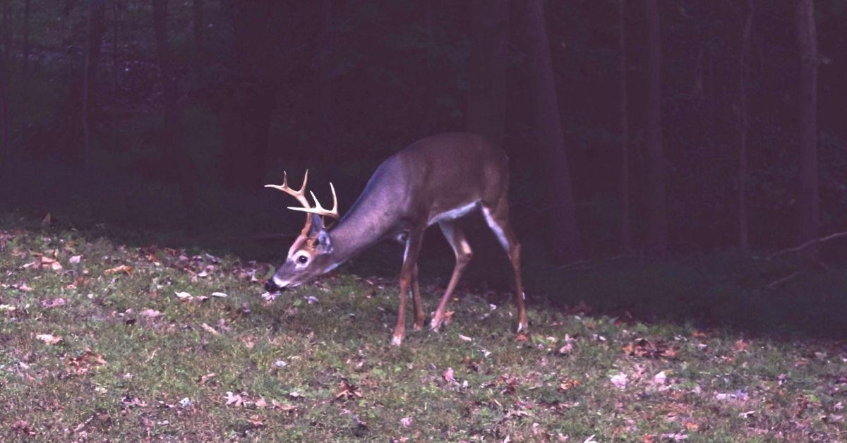 Do Deer Eat Mushrooms?