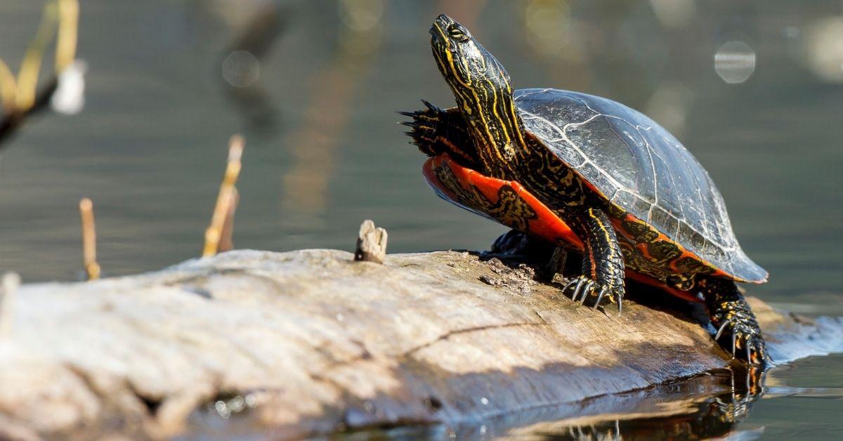 Do Fish Eat Turtles?